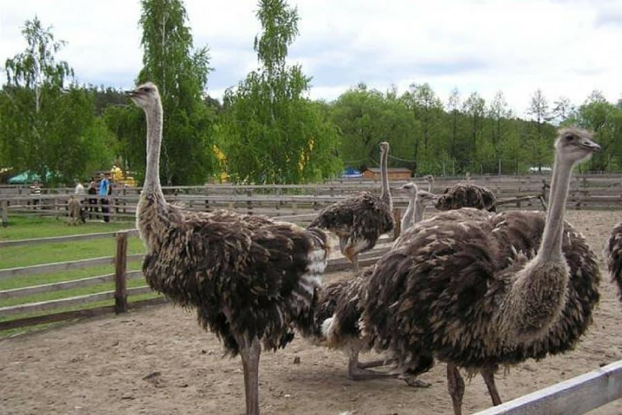 Картинки по запросу страусиная ферма «СТРАУС-ЮГ» + мини-зоопарк